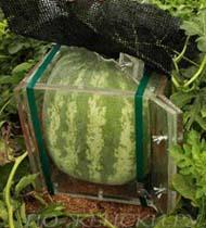 полезные свойства арбуза | квадратный